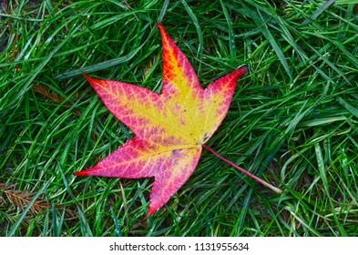Single fallen down colourfull autumn leaf in green grass