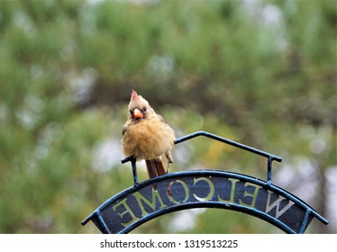 A single female cardinal bird with broken left leg perching on the bird feeder stand in one morning on the blurry garden background, Winter in Ga USA.