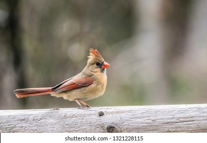 A single female Cardinal perches on a small branch.