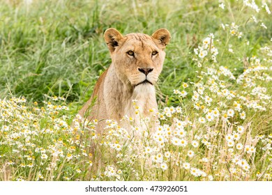 Single female lion resting in the fresh grasss