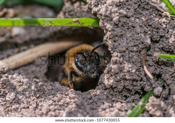 Single female mining bee in her hole on the ground