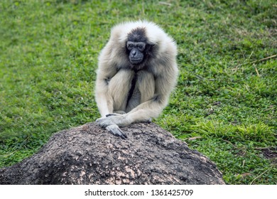Single Female Pileated Gibbon at the Gladys Porter Zoo, Brownsville Texas