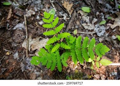 Single fern growing on bed of brown dead leaves.