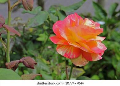 single fiery Rose