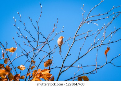 Single finch in a tree top in the fall with golden leaves in autumn colors