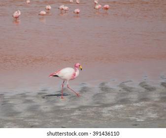 Single flamingo feeding at a lake in Bolivia