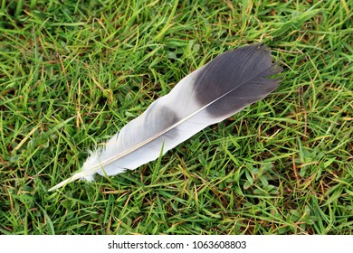 A single flight feather lying on fresh green grass