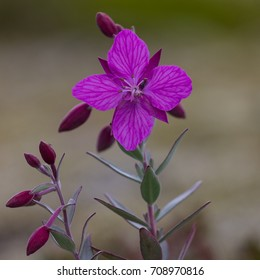 A single flower of Arctic Riverbeauty or Dwarf Fireweed (Chamerion latifolium). Iceland.