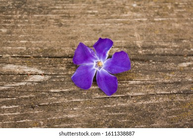 single flower of blue tint close-up on a wooden table. periwinkle flower on a wooden background. light blue flower with a lilac shimmer.