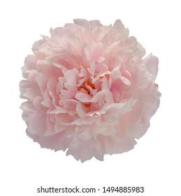 single flower bud pink peony, isolated , on white background