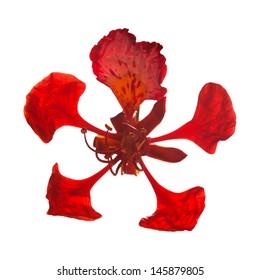 Single flower of Delonix regia isolated