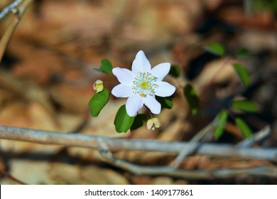 A single flower of an early spring false rue anemone wildflower in the woods of Seven Lakes State Park, Holly, Michigan.
