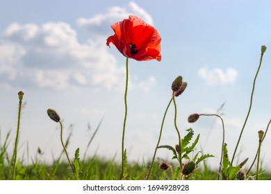 Single flower of field poppy on a tall stalk among the flower buds and seed heads on a blurred background of the sky