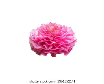 single flower isolated with clipping path on white background