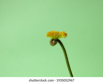 A single flower on a solid green background. The poppy has no petals, only a stamen. Isolated