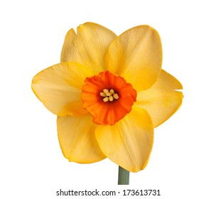 Single flower of the orange and red, small-cup daffodil cultivar Red Diamond isolated against a white background