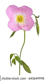 Single flower, stem, leaves and bud of the pink  evening primrose (Oenothera speciosa) isolated against a white background
