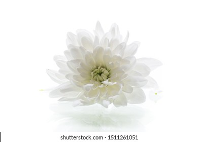 single flower of white chrysanthemums isolated on a white