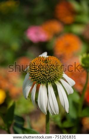 Single Flower Yellow Center White Petals Stock Photo Edit Now