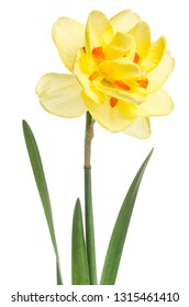 Single flower of yellow daffodil isolated on white background