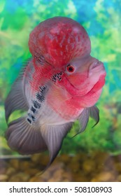 Single flowerhorn cichlid fish in an aquarium (or Hua Luo Han)