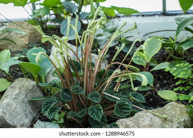 Single flowering plant of emerald Ripple peperomia   / Peperomia caperata in the botanical garden