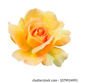 Single Focus Stacked Yellow Rose Isolated on White Background