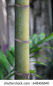single fresh bamboo trunk, close up