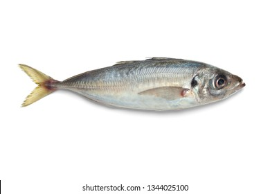 Single fresh raw horse mackerel isolated on white background