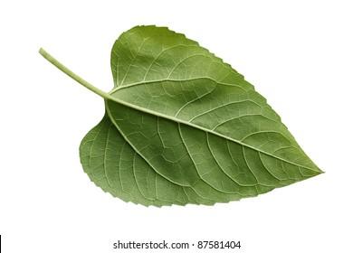 Single fresh sunflower leaf isolated on white