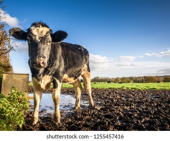 A single friesian cow looking into the camera.