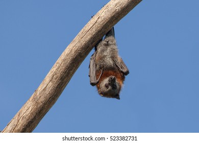 Single Fruit Bat, Flying Fox Hanging