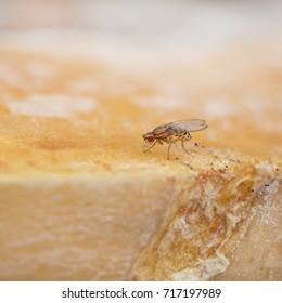single fruitfly in rotten fruit