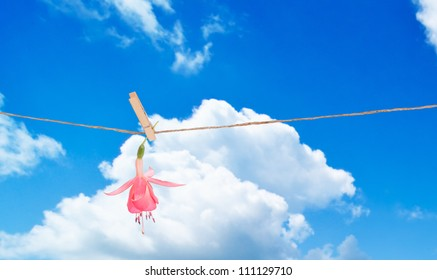 Single fuchsia bloom hanging on washing line on summers day