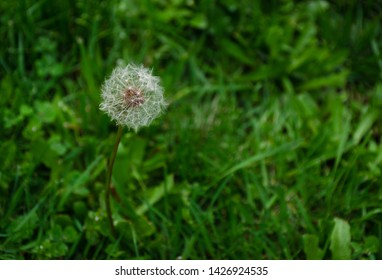 Single full dandelion head gone to seed and ready to blow on the wind