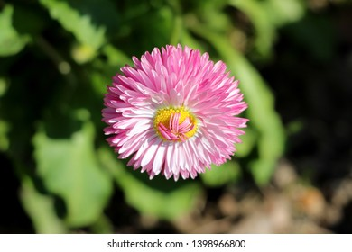 Single fully open blooming Common daisy or Bellis perennis or English daisy or Meadow daisy or Lawn daisy herbaceous perennial plant with large pink pompon like flower with yellow center
