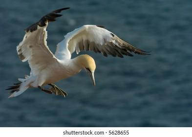 Single gannet preparing for landing. Helgoland, Germany.