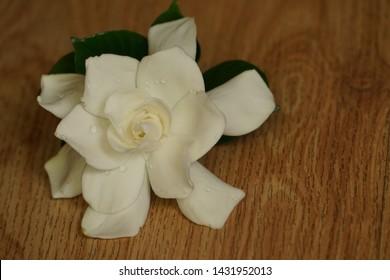 Single Gardenia flower (Gardenia jasminoides) is on the wooden floor background , Spring in Georgia USA.