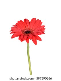 Single gerbera flower isolated on white, floral theme