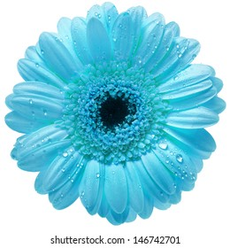 Single Gerbera flower with water drops  isolated on white background