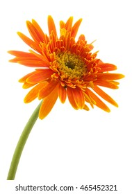 single gerbera  flower yellow isolated on white background