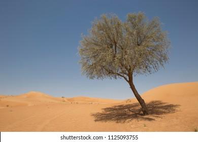 Single ghaf tree with midday shadow against a blue sky in the Arabian desert of the UAE near Meliha near Dubai.