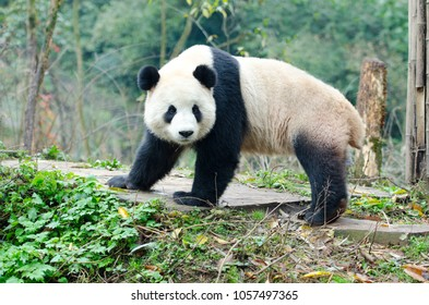 A single Giant Panda Look Back Pose, Chengdu, Szechuan, China.  Face has slight motion blur.