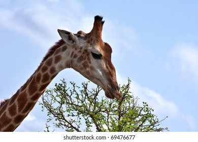 single giraffe feeding in Kruger National Park, South Africa, closeup of head and neck with leaves and blue sky