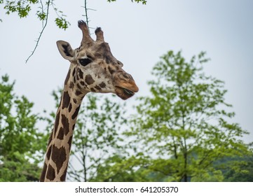 Single Giraffe with trees.