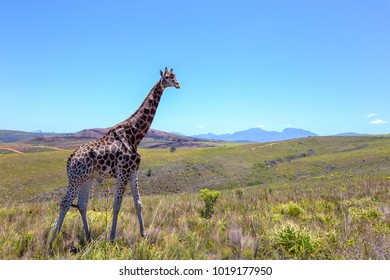single giraffe walking through the african bush and grassland, wild and free