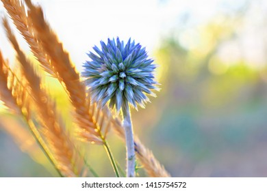Single globe Thistle Echinops sphaerocephalus pointed head of a blue flower in the field at sunset in the sun. Blue spiky flower head of Echinops or plants. Globe Thistle or close-up.