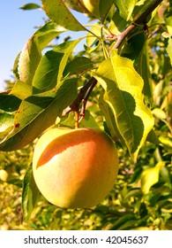 Single golden apple
