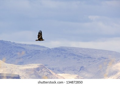 A single golden eagle (Aquila chrysaetos) bird flying in the desert sky
