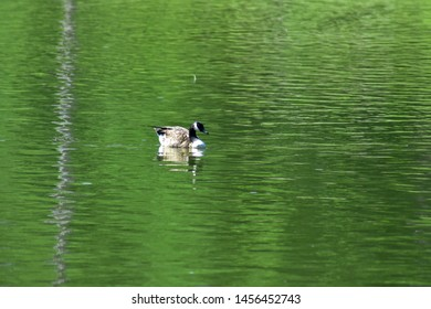 Single goose sitting on a at pond at Bynum Run Park in Harford County, Maryland